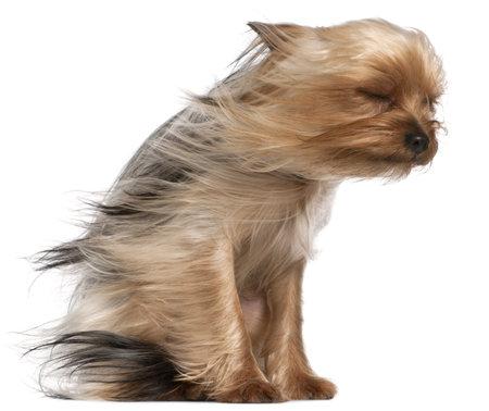 viento: Yorkshire Terrier con el cabello al viento, 1 a�o de edad, sentado en frente de fondo blanco