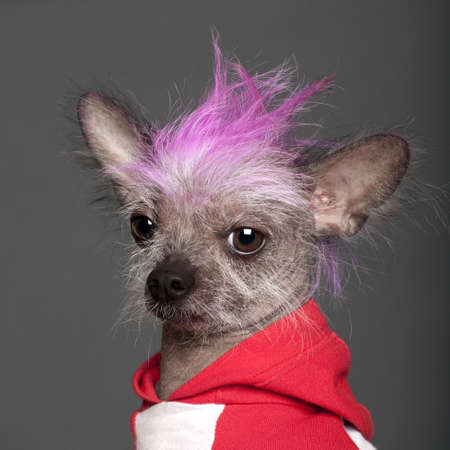 Close-up of Chinese Crested Dog with pink mohawk, 4 years old, in front of grey background photo