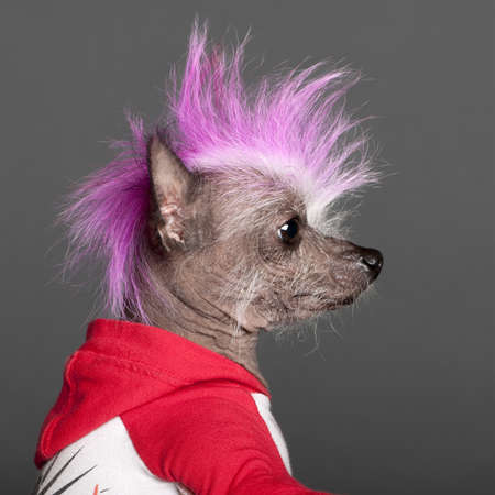 hot pink: Close-up of Chinese Crested Dog with pink mohawk, 4 years old, in front of grey background