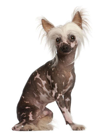 spotted dog: Chinese Crested dog sitting in front of white background Stock Photo