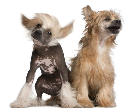 Chinese Crested Dog puppy, 4 months old, and Chinese Crested Dog, 7 years old, sitting in front of white background Stock Photo - 9750313