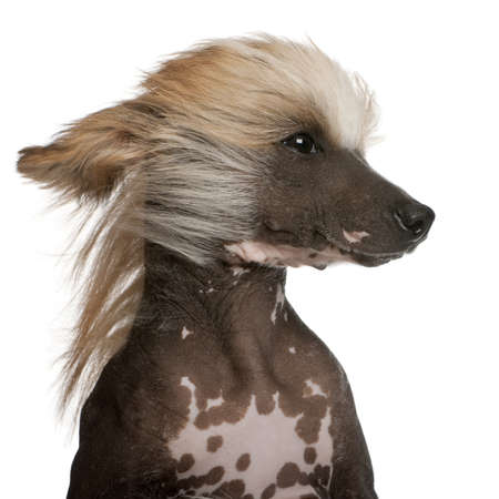 Close-up of Chinese Crested Dog with hair in the wind, 7 years old, in front of white background photo