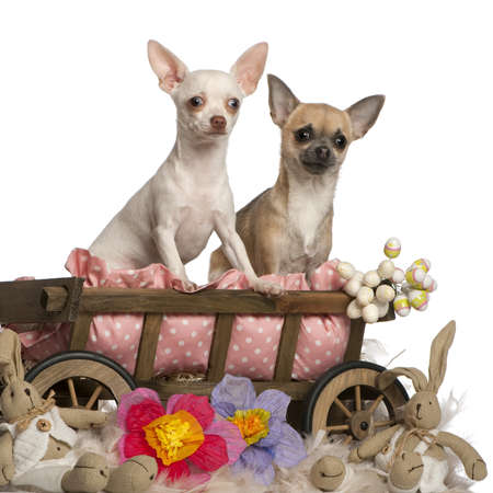 Chihuahuas, 13 months old and 7 months old, sitting in dog bed wagon with stuffed animals in front of white background photo