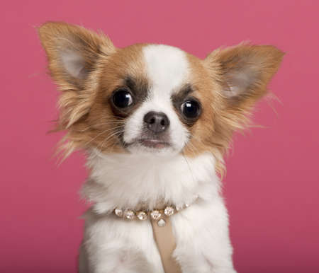 Close-up of Chihuahua wearing diamond collar, 7 months old, in front of pink background photo