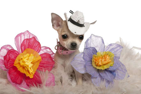 Chihuahua puppy, 2 months old, wearing hat and sitting with flowers in front of white background photo