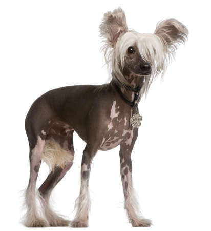 spotted dog: Chinese Crested Dog, 10 months old, standing in front of white background