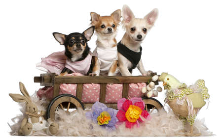 three months old: Three Chihuahuas, 1 year old, 8 months old, and 5 months old, sitting in dog bed wagon with Easter stuffed animals in front of white background Stock Photo