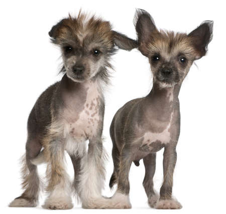 Chinese Crested Dog puppies, 2 months old, standing in front of white background photo