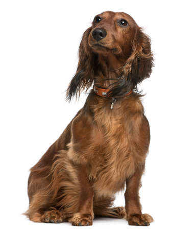 white collar: Dachshund, 2 years old, sitting in front of white background Stock Photo