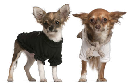 chihuahua 3 months old: Chihuahua puppies, dressed up, 3 months old and 10 months old, standing in front of white background Stock Photo