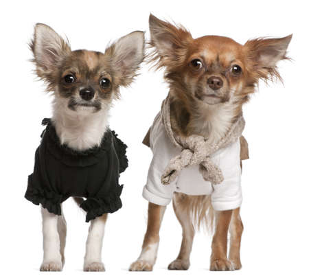 Chihuahua puppies, dressed up, 3 months old and 10 months old, standing in front of white background Stock Photo