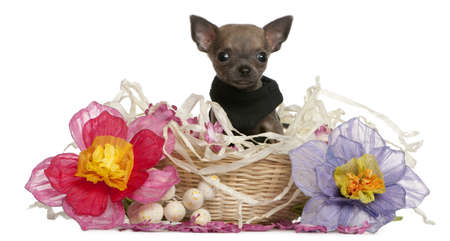 Chihuahua puppy sitting in Easter basket with flowers in front of white background Stock Photo - 9750652
