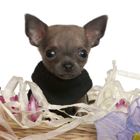 Close-up of Chihuahua puppy sitting in Easter basket with flowers in front of white background photo