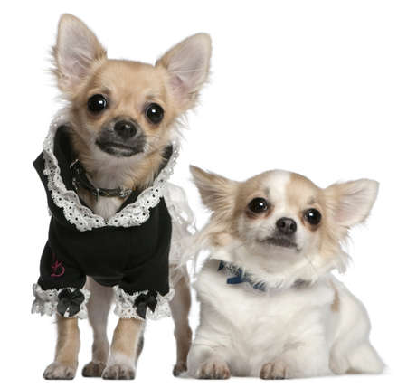 chihuahua 3 months old: Chihuahua, 3 years old, and Chihuahua puppy, 6 months old, dressed up in front of white background