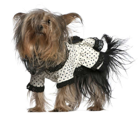 Yorkshire Terrier wearing black and white polka dot dress, 3 years old, standing in front of white background photo