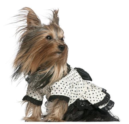 perros vestidos: Yorkshire Terrier llevaba vestido de lunares blanco y negro con el cabello al viento, 3 a�os de edad, de fondo blanco Foto de archivo