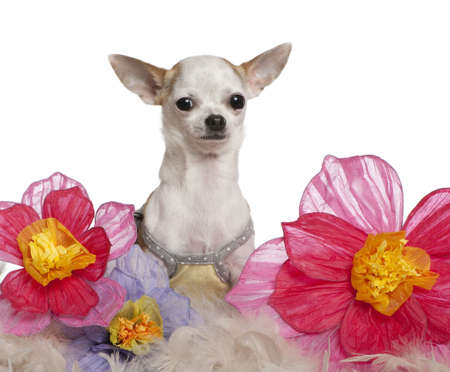 Chihuahua, 1 year old, sitting among flowers in front of white background photo