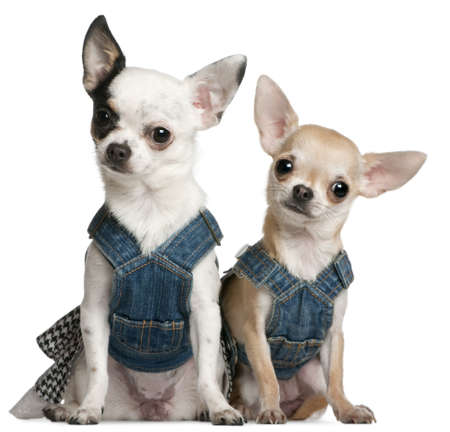 11 year old: Chihuahuas wearing denim, 1 year old and 11 months old, sitting in front of white background