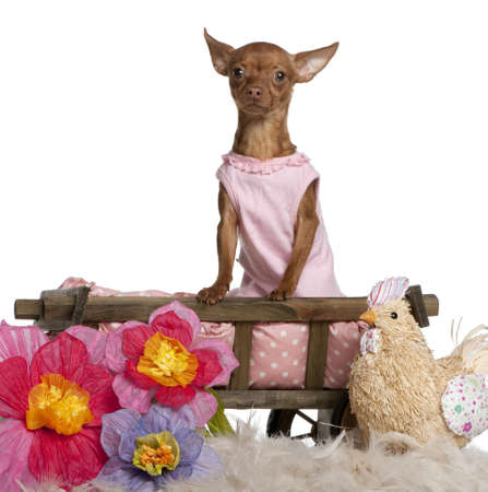 Chihuahua in pink dress, 11 months old, sitting in dog bed wagon with stuffed chicken and flowers in front of white background photo