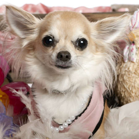 Close-up of Chihuahua dressed up and wearing pearls, 3 years old, in front of white background photo