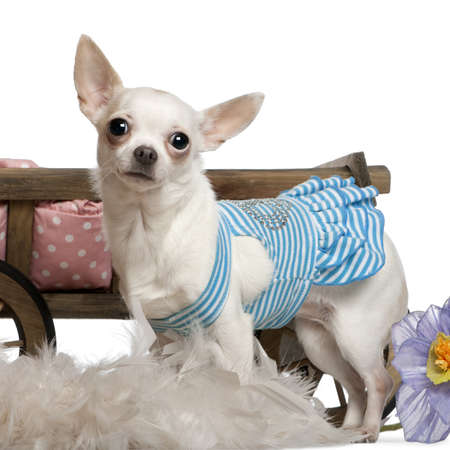 Chihuahua, 1 year old, wearing blue striped dress and standing in front of dog bed wagon and white background photo