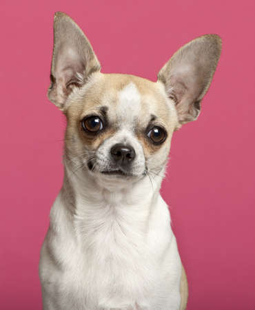 chihuahua puppy: Close-up of Chihuahua, 9 months old, in front of pink background