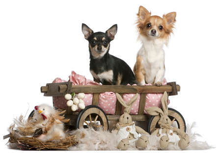 Chihuahuas, 14 months old, sitting in dog bed wagon with Easter stuffed animals in front of white background photo