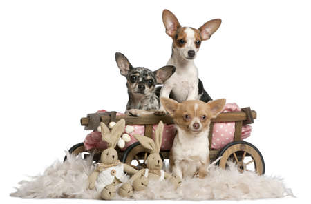 Three Chihuahuas with dog bed wagon and Easter stuffed animals in front of white background photo