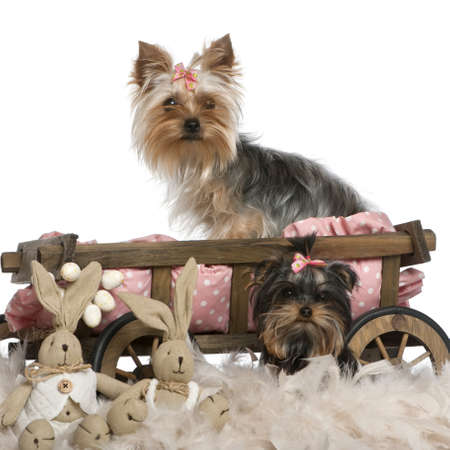 Two Yorkshire Terriers, 5 and 9 months old, with dog bed wagon and Easter stuffed animals in front of white background photo