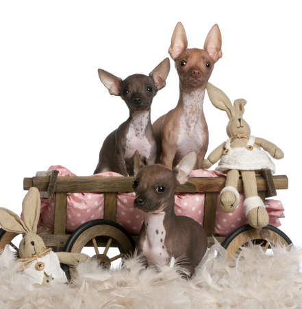 Three Chihuahuas, 6 and 7 months old, with dog bed wagon and Easter stuffed animals in front of white background photo