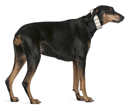 Doberman Pinscher, 9 years old, standing in front of white background photo