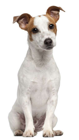 dog sitting: Jack Russell Terrier, 10 months old, sitting in front of white background Stock Photo