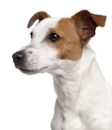 jack russell: Close-up of Jack Russell Terrier, 10 months old, in front of white background