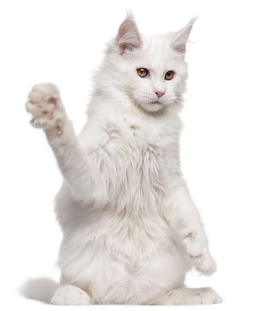 Maine Coon, 5 months old, with paw up in front of white background photo