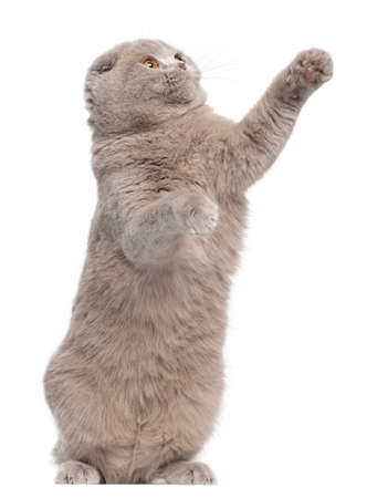 Scottish Fold cat, 9 and a half months old, standing up and pawing in front of white background photo