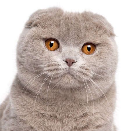 9 months: Close-up of Scottish Fold cat, 9 and a half months old, in front of white background