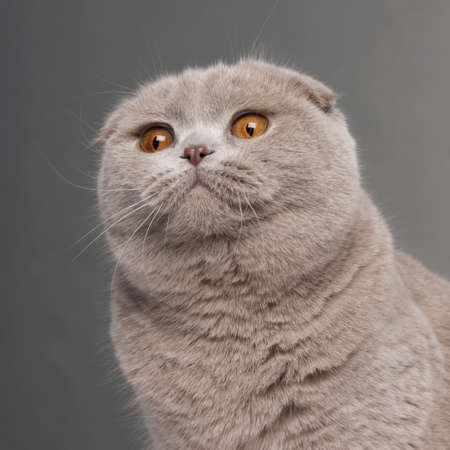 Close-up of Scottish Fold cat, 9 and a half months old, in front of grey background photo
