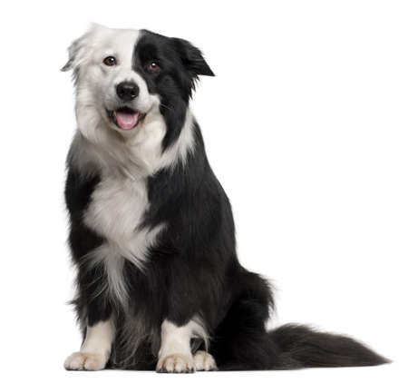 Border Collie, 8 and a half years old, sitting in front of white background Stock Photo - 9749914
