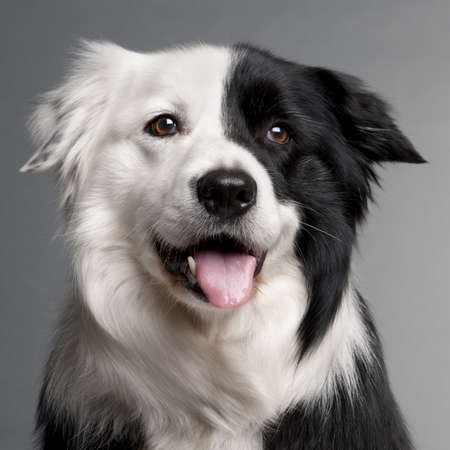 Close-up of Border Collie, 8 and a half years old, in front of grey background photo
