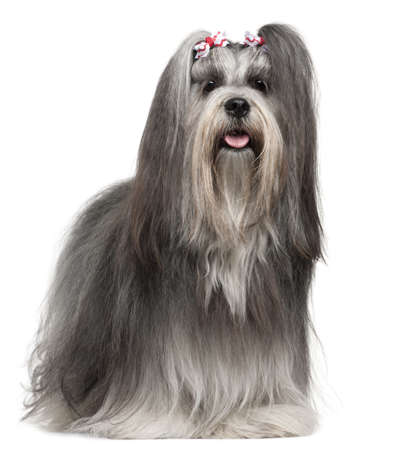 Lhasa Apso wearing hairbows, 2 years old, in front of white background photo
