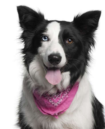Close-up of Border Collie wearing pink handkerchief, 2 years old, in front of white background Stock Photo - 9749010