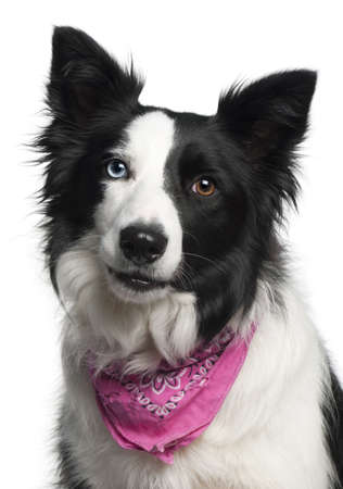 Close-up of Border Collie wearing pink handkerchief, 2 years old, in front of white background photo