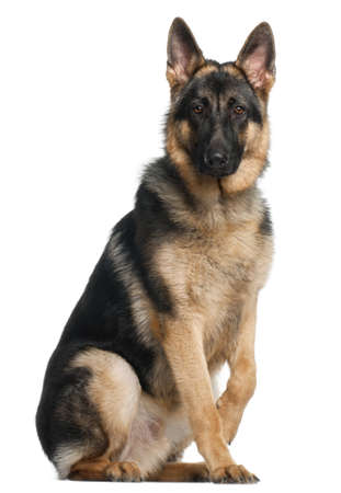 German Shepherd Dog, 8 months old, sitting in front of white background Stock Photo - 9749144