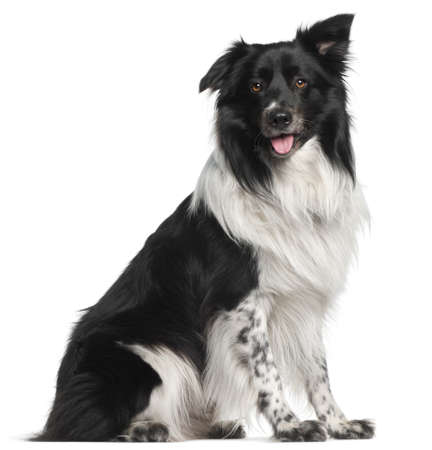 Border Collie, 3 and a half years old, sitting in front of white background photo