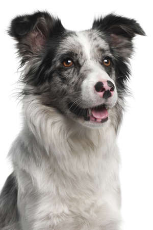 Close-up of Border Collie, 11 months old, in front of white background photo