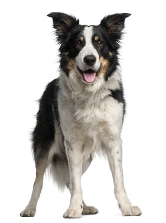 bordercollie: Border Collie, 5 and a half years old, standing in front of white background Stockfoto