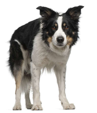 collie: Border Collie, 5 and a half years old, standing in front of white background Stock Photo