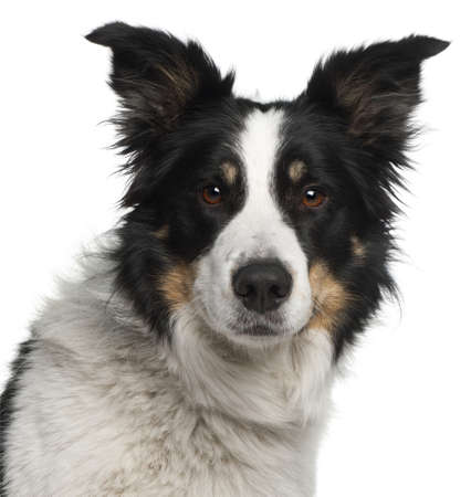 Close-up of Border Collie, 5 and a half years old, in front of white background Stock Photo - 9750230