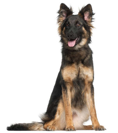 German Shepherd Dog, 8 months old, sitting in front of white background Stock Photo - 9749175