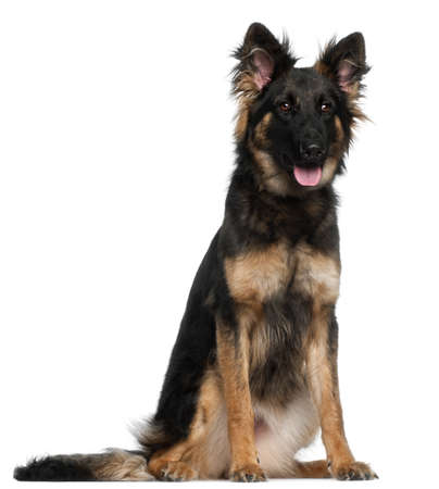German Shepherd Dog, 8 months old, sitting in front of white background Stock Photo - 9749191